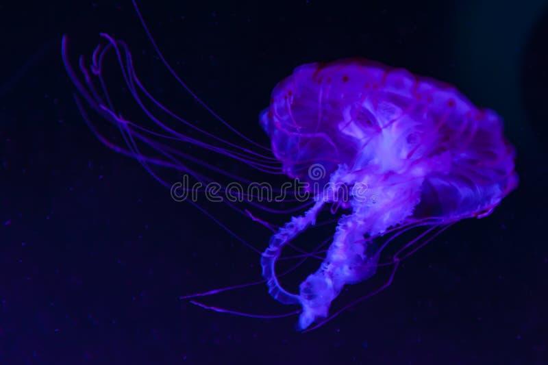 Le colorata pourpre-rayé de Chrysaora de méduses espèces des méduses, ortie de mer, méduse Medusozoa, animaux marins photos libres de droits