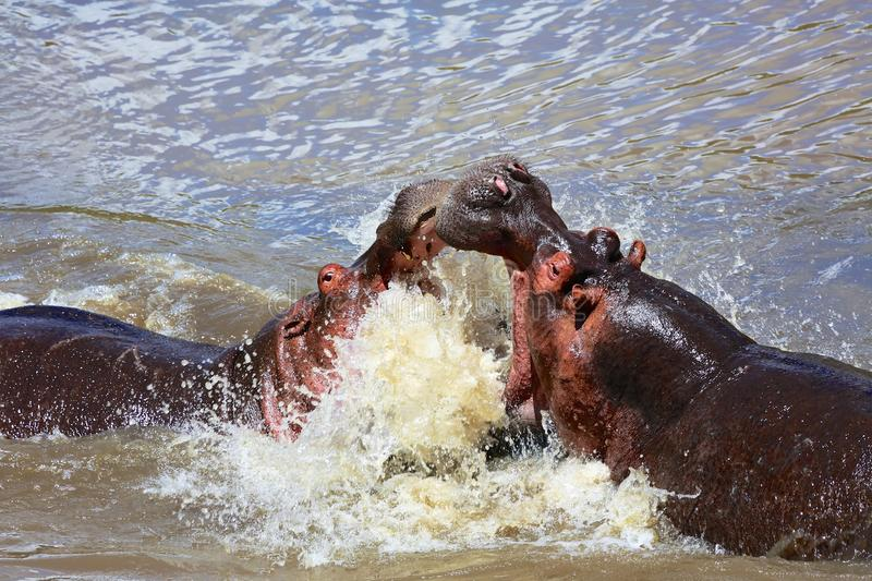 Le combat d'un hippopotame photos stock