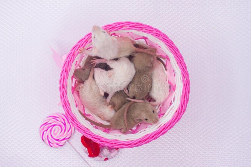 Le concept d'une grande famille Les rats nouveau-nés dorment dans une boîte image stock