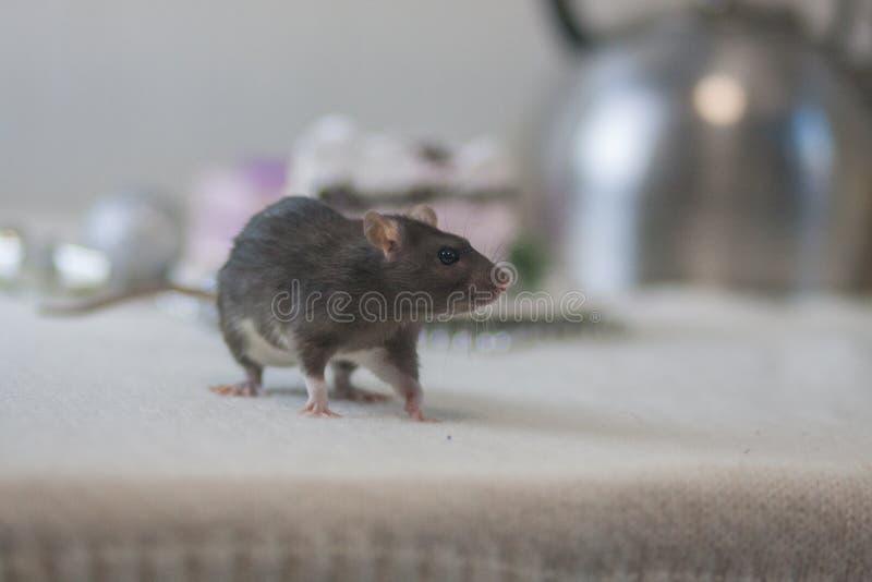 Le concept de la crainte d'un rat Souris grise Rat foncé dessus image stock