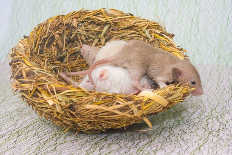 Le concept des souris nouveau-nées de nid de famille se situent dans le nid photographie stock libre de droits