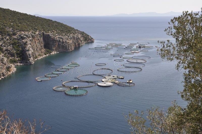 Le conchiglie coltivano per la coltivazione nel mar Egeo in Grecia immagine stock