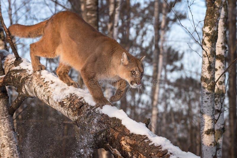 Le concolor de puma de puma de femelle adulte frappe la neige outre de la branche images libres de droits