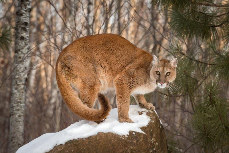 Le concolor de puma de puma de femelle adulte se tapit sur le Roc couvert par neige photo libre de droits