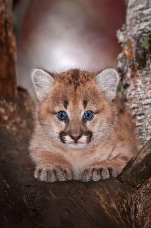 Le concolor femelle de Kitten Puma de puma regarde fixement de l'arbre images libres de droits