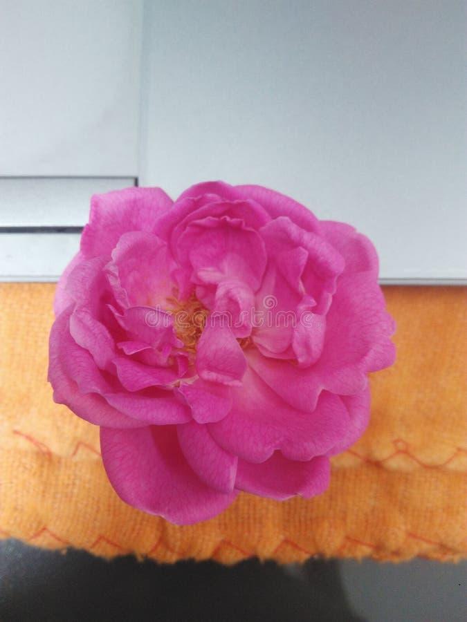 Le copain de fleurs de Roja s'est levé couleur images stock