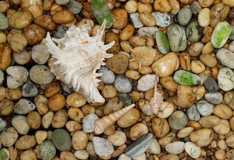 Le coperture di Ramosus del Murex con le altre piccole conchiglie hanno sparso sulla terra della pietra del ciottolo immagini stock libere da diritti