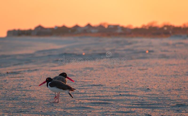 Le coppie americane della beccaccia di mare foraggiano sulla spiaggia al tramonto in Cape May, NJ immagine stock libera da diritti
