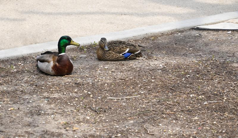 Le coppie le anatre si siedono in parco su terra nuda accanto al marciapiede fotografia stock libera da diritti