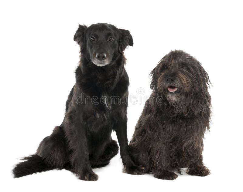 Le coppie dell'Mixed-Allevano il cane con un Collie di bordo a immagini stock libere da diritti