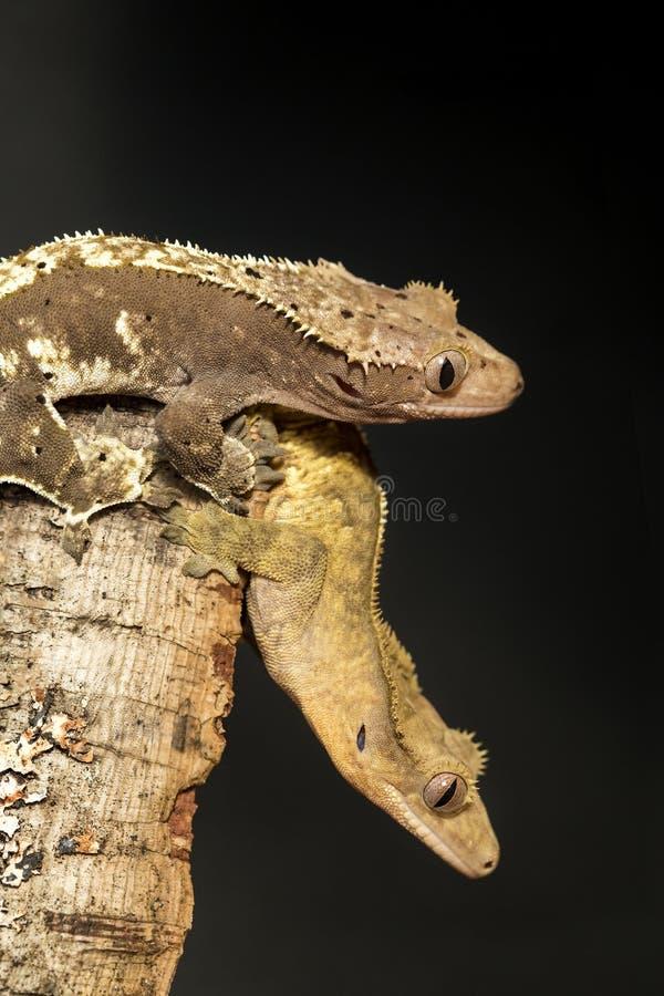 Le coppie di nuovi gechi crestati caledoniani hanno appeso su un ramo fotografie stock libere da diritti