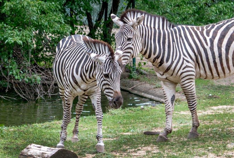 Le coppie la zebra si frugano in un habitat immagine stock libera da diritti
