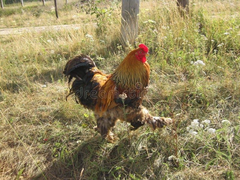 le coq marche sur l'herbe images libres de droits