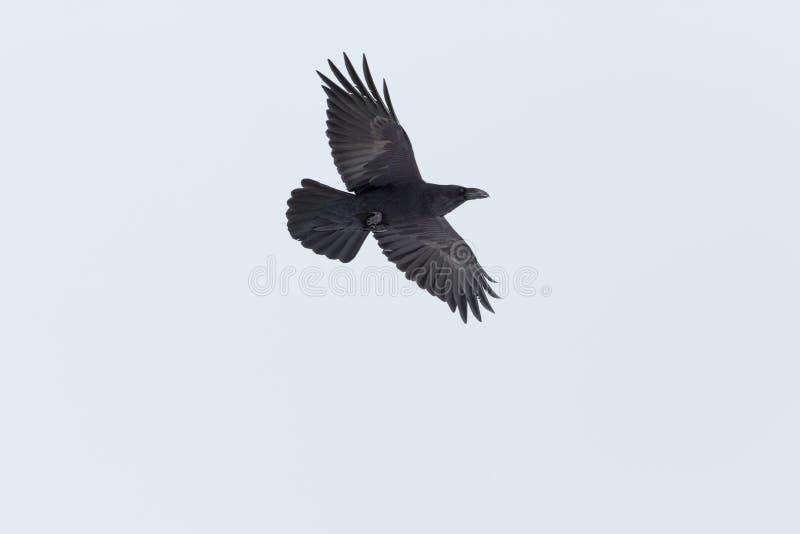 Le corax du nord volant de corvus d'oiseau de corbeau a répandu des ailes, Ba blanc photos libres de droits