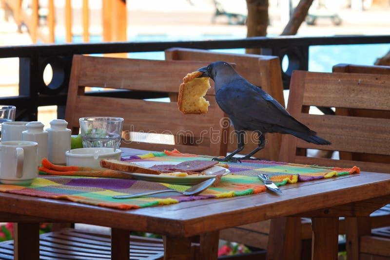 Le corbeau noir vole la nourriture de la table dans un café photos libres de droits