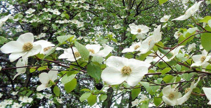 Le cornouiller fleurit balançant sous la pluie - format horizontal photo libre de droits