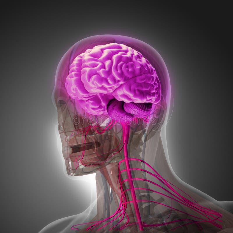 Le corps humain (organes) par des rayons X sur le fond gris illustration de vecteur