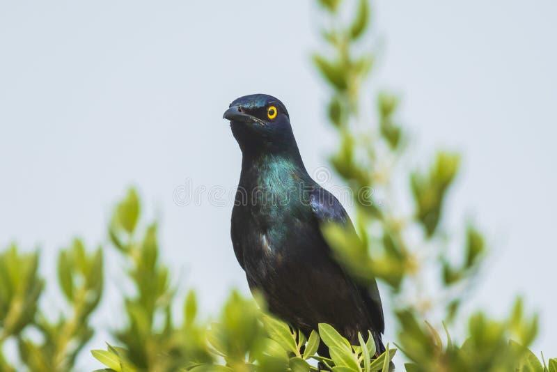 le corruscus brillant Noir-gonflé de Lamprotornis d'oiseau d'étourneau était perché image libre de droits