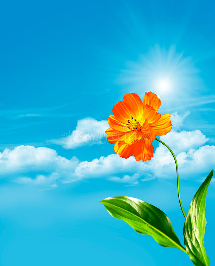 Le cosmos fleurit sur un fond de ciel bleu avec des nuages images libres de droits
