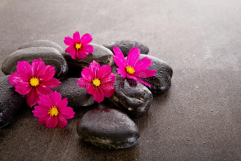 Le cosmos rose fleurit avec les roches noires de massage sur le fond d'ardoise photographie stock libre de droits