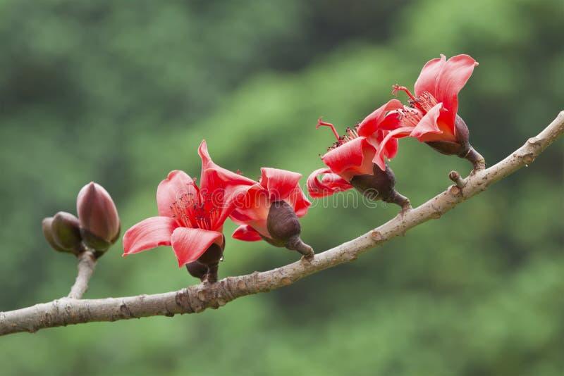 Le coton fleurit au printemps le temps photographie stock