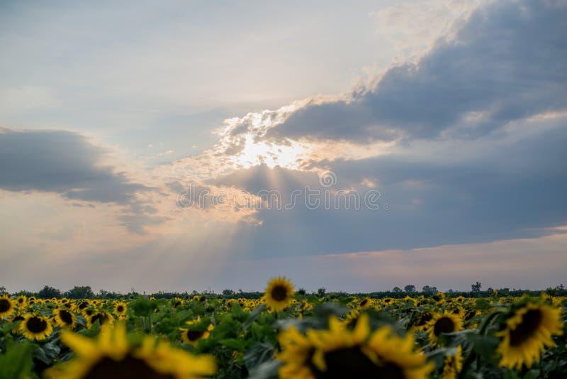 Le coucher du soleil dans un ciel nuageux au-dessus des tournesols de floraison mettent en place photographie stock