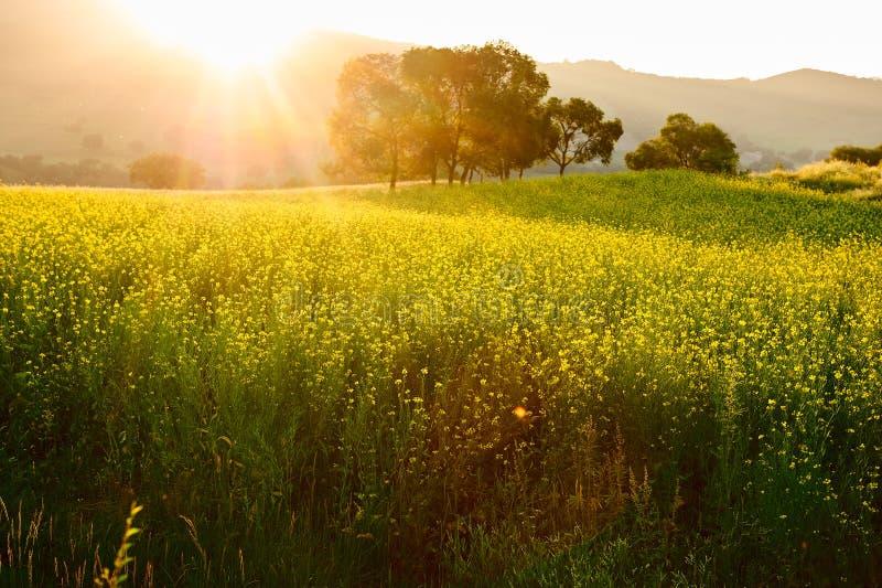 Le coucher du soleil de gisement de fleurs de viol photographie stock