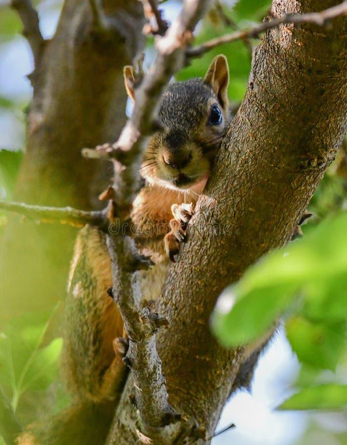 Le coup d'oeil a huent l'écureuil dans l'arbre photos libres de droits