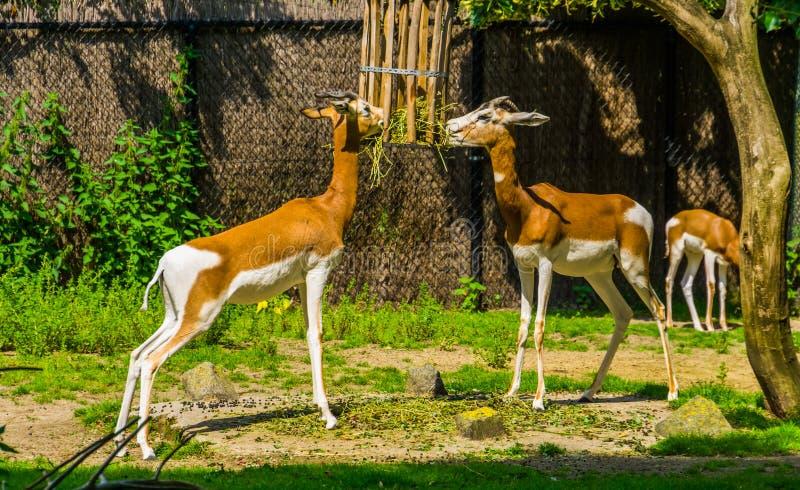Le couple de Mhorr gazelle mangeant du foin ensemble, nourrissant des animaux du zoo, espèce animale en danger critique du désert images stock