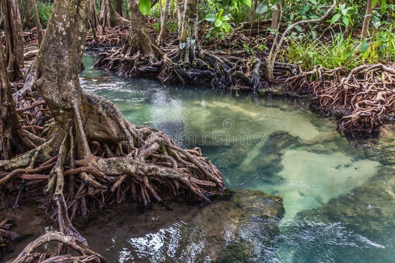 Le courant vert clair traverse la racine de forêt de palétuvier images libres de droits