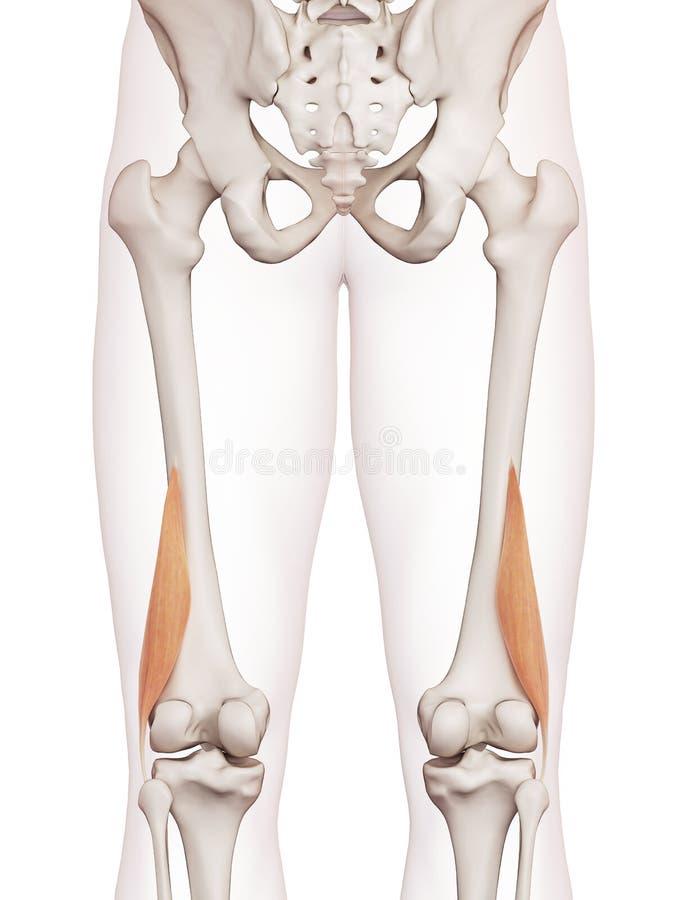 Le court femoris de biceps illustration libre de droits
