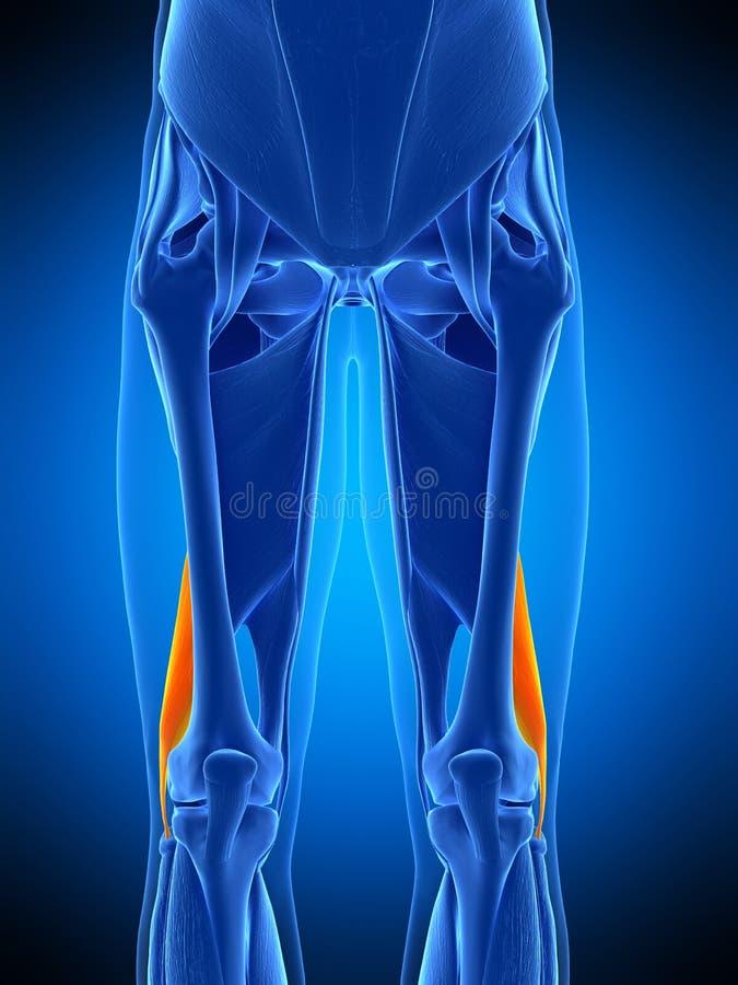 Le court femoris de biceps illustration stock