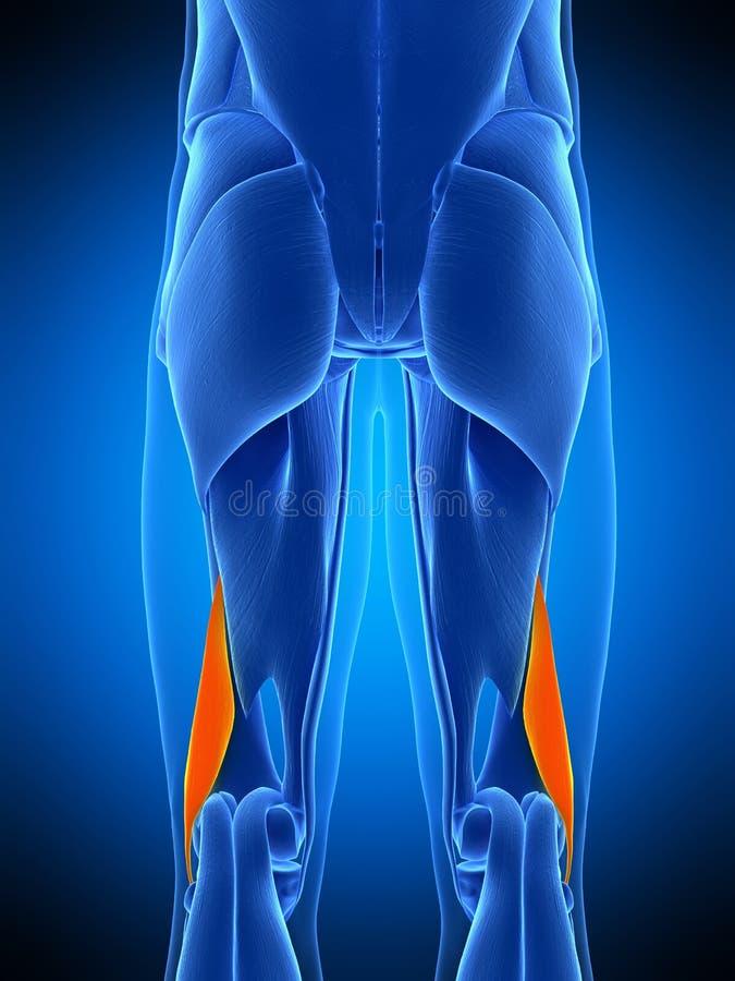 Le court femoris de biceps illustration de vecteur