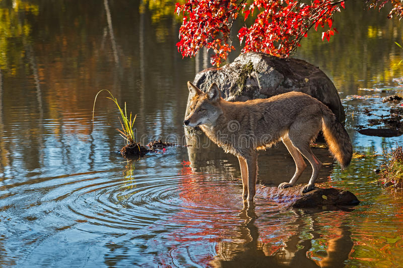 Le coyote (latrans de Canis) se tient avec Front Feet dans l'eau images stock