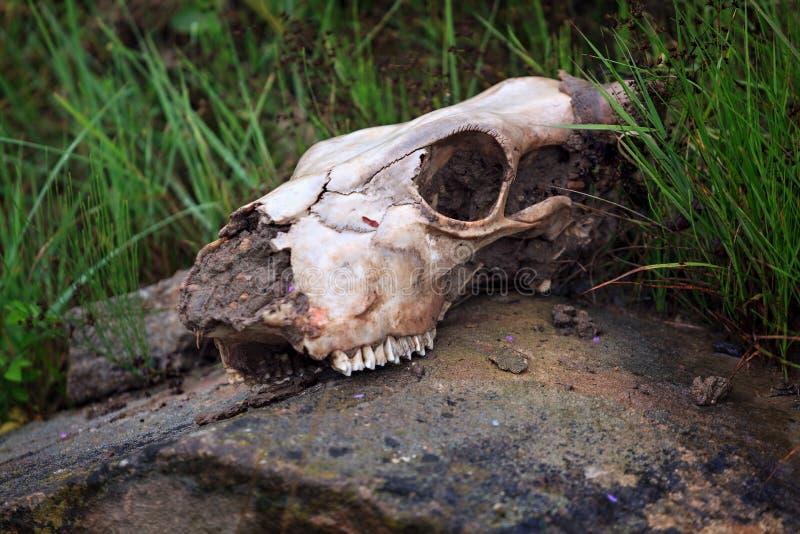 Le crâne d'un animal se trouve sur une pierre photographie stock