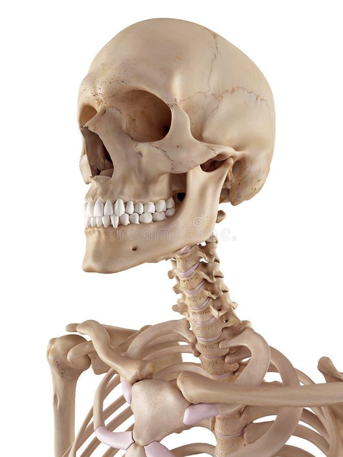 Le crâne et le cou humains illustration stock