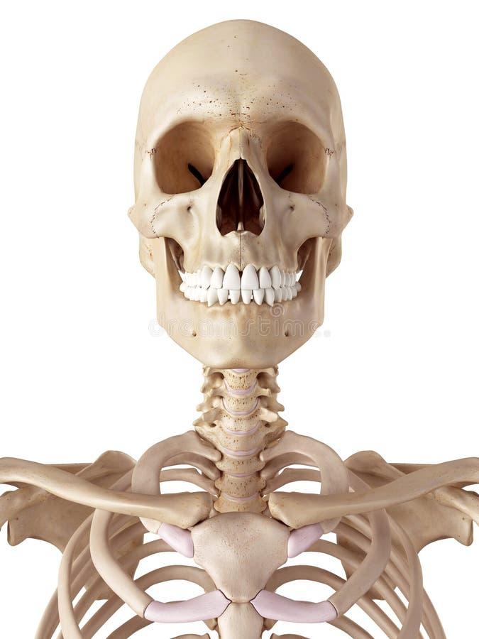 Le crâne et le cou humains illustration libre de droits