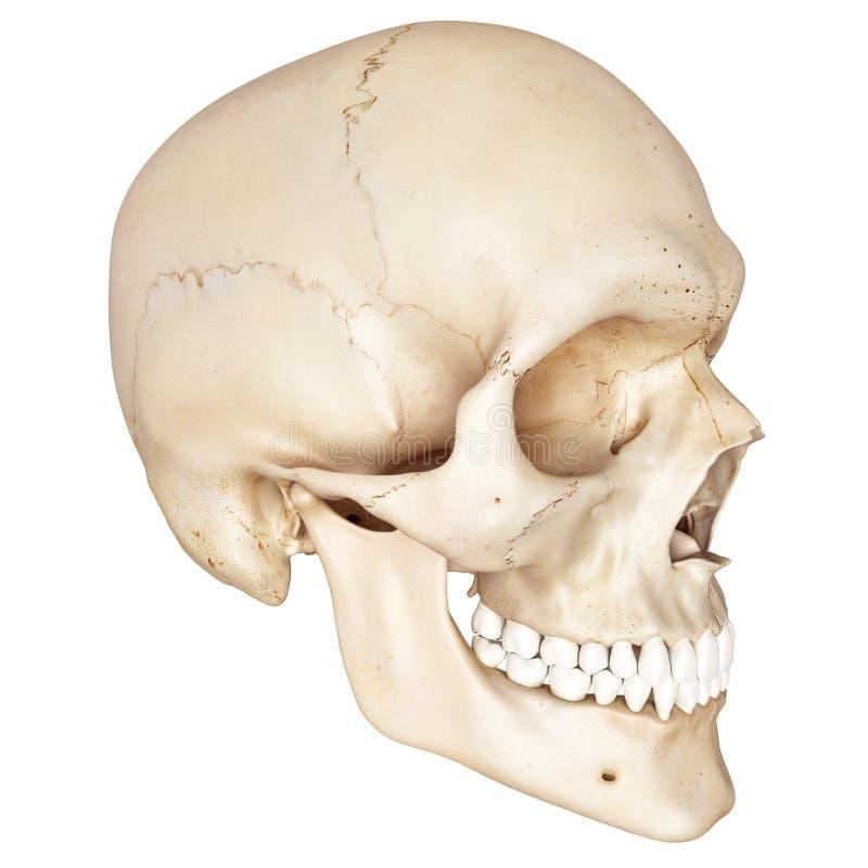 Le crâne humain illustration libre de droits