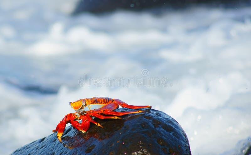 Le crabe de roche rouge scurries au-dessus de la vague déferlante photo libre de droits