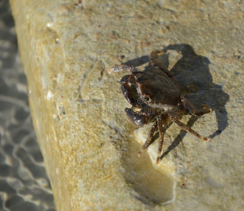 Le crabe invisible est un spécimen étonnant Son unicité est qu'il est impossible presque à trouver parmi des algues Cr maigre et  images libres de droits
