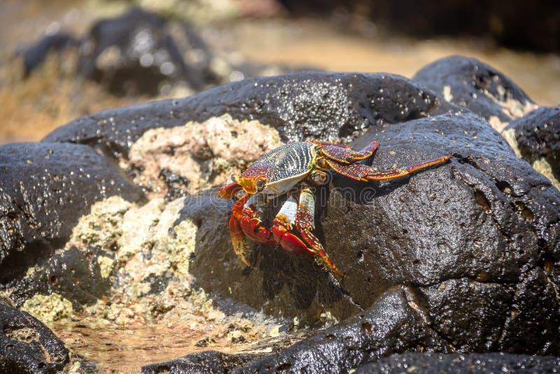 Le crabe rouge coloré au Praia font Sancho Beach - Fernando de Noronha, Pernambuco, Brésil photographie stock libre de droits
