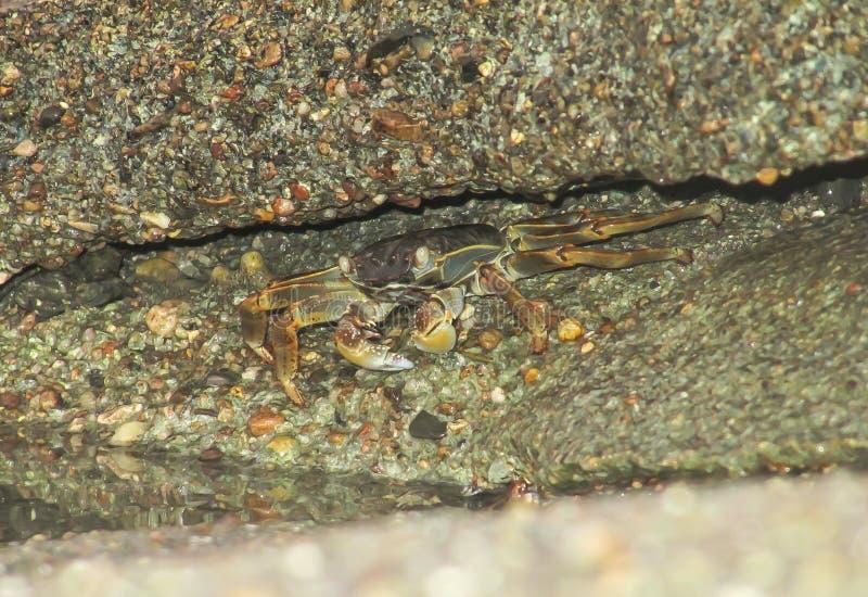 Le crabe s'est caché dans l'espace entre les pierres sur la plage photographie stock libre de droits