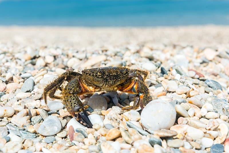 Le crabe a sorti pour se dorer sur une plage chaude d'été images stock