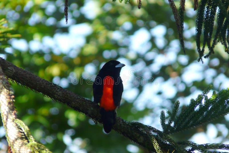 Le cramoisi isolé a soutenu le Tanager se tenant au-dessus d'une branche dans la loge d'auberge de jardin de Boquete, les montagn photo libre de droits