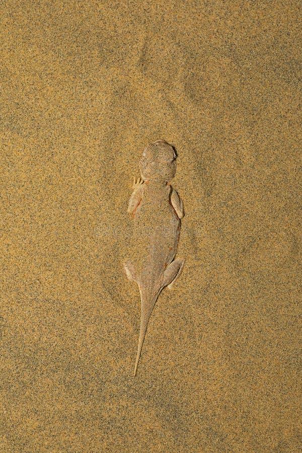 Le crapaud a dirigé l'agame, genre parc national de désert de Phrynocephalus, Ràjasthàn photos libres de droits