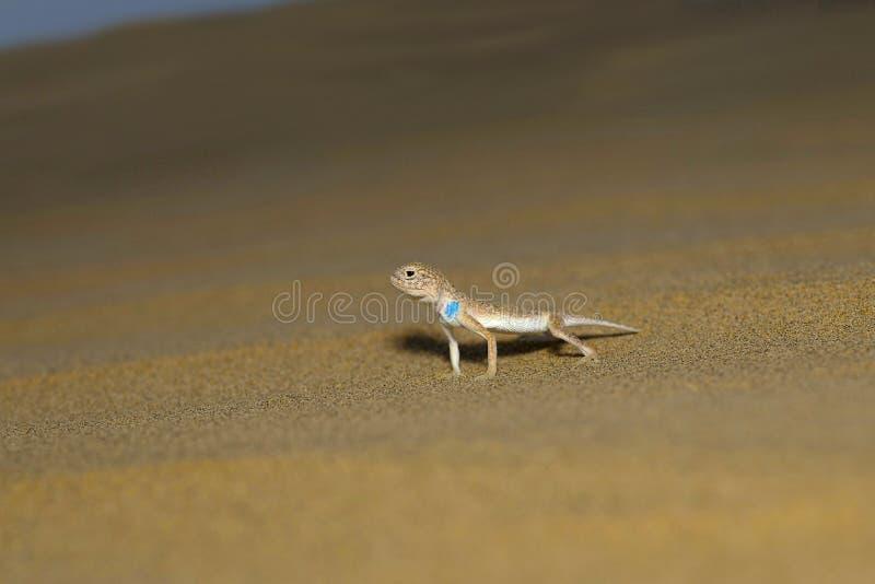 Le crapaud a dirigé l'agame, genre parc national de désert de Phrynocephalus, Ràjasthàn photo stock