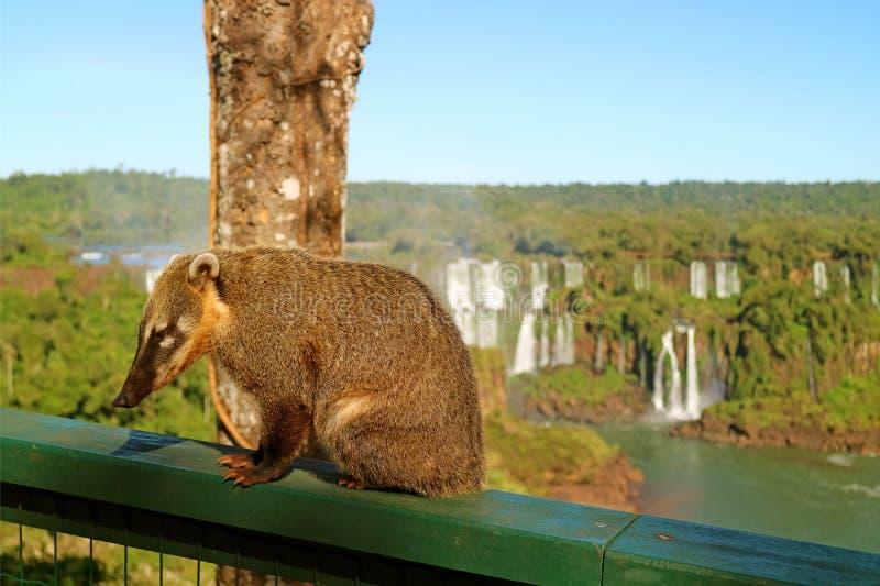 le creature del tipo di procione hanno chiamato Coati trovati al parco nazionale delle cascate di Iguazu, Foz fanno Iguacu, Brasi fotografie stock libere da diritti