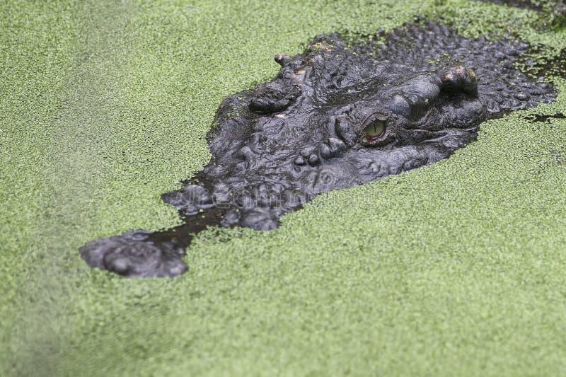 Le crocodile d'eau salée s'étend dans l'attente image stock