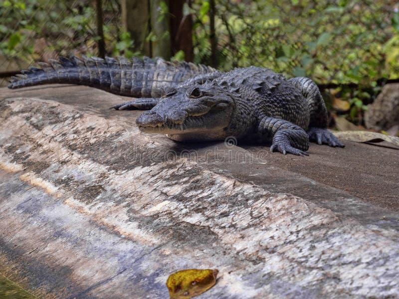 Le crocodile de Morelet, moreletii de Crocodylus, habite les rivières de forêt de l'Amérique Centrale, Guatemala image stock