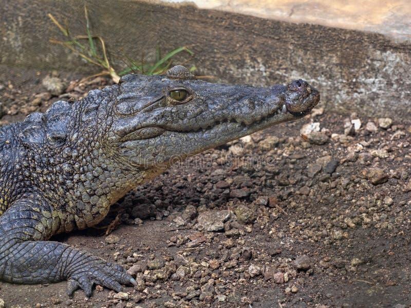 Le crocodile de Morelet, moreletii de Crocodylus, habite les rivières de forêt de l'Amérique Centrale, Guatemala photos libres de droits